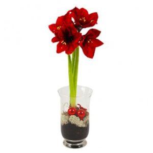Amaryllis i glasvas, med mossa och julpynt i vasen. Skicka amaryllisen med ett blomsterbud - beställ online hos Florister i Sverige!