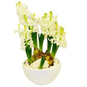 Hyacinter (här vita), vackert arrangerade i en skål. Flott!